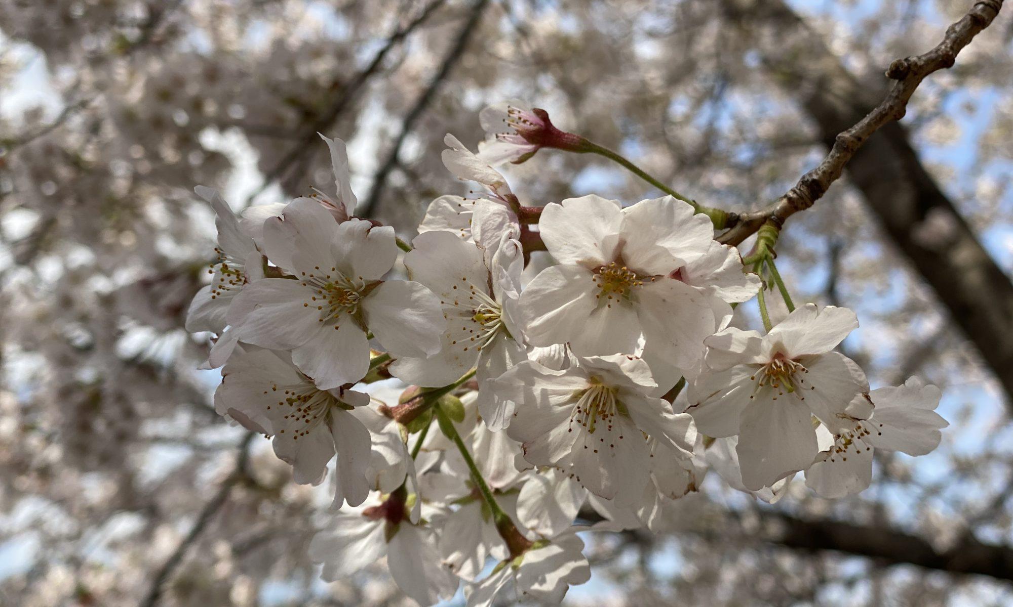 Japanese Sakura 2020