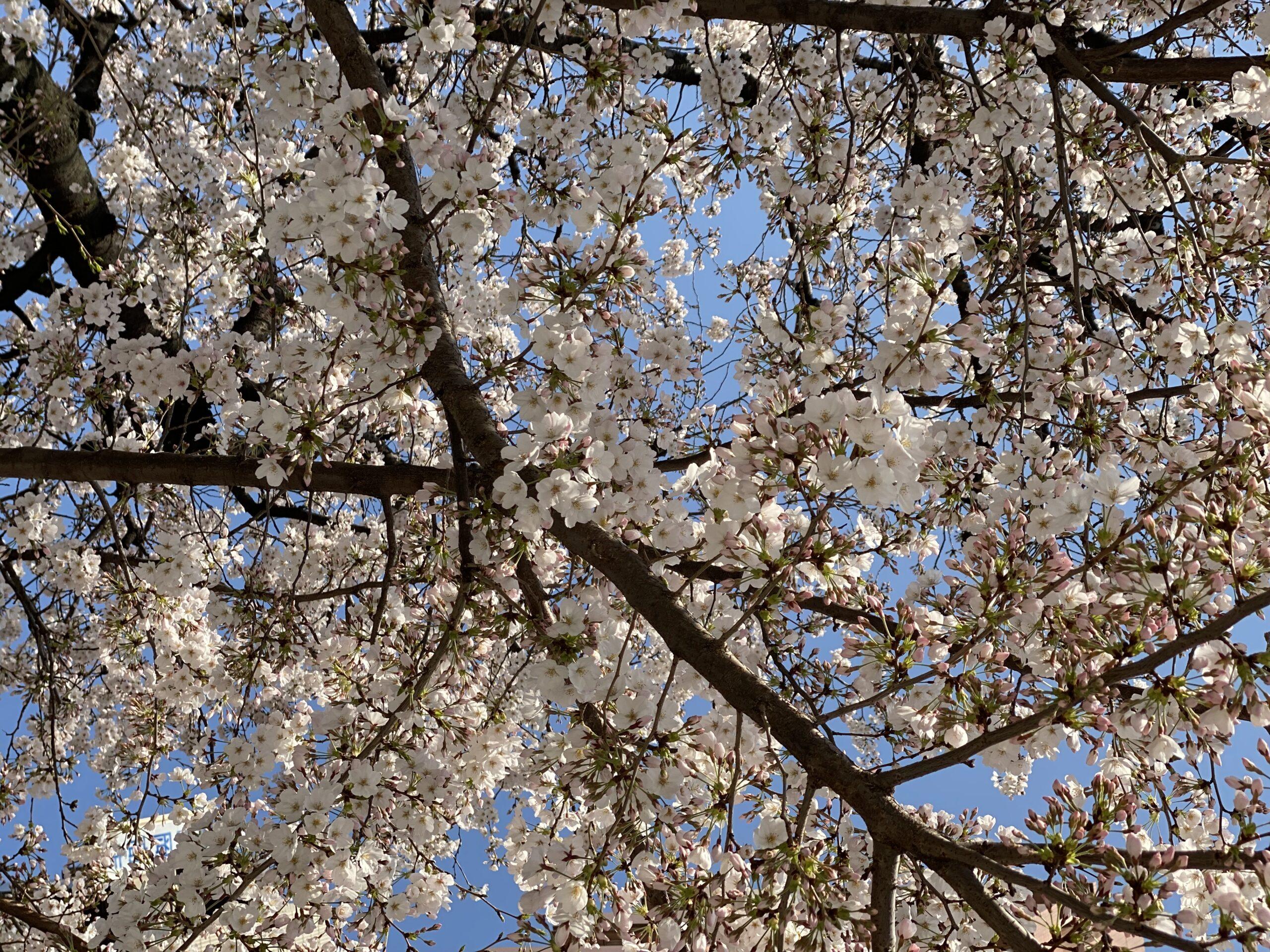 門前仲町の桜